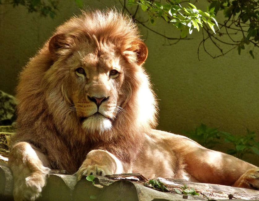 A cat lying on top of a lion
